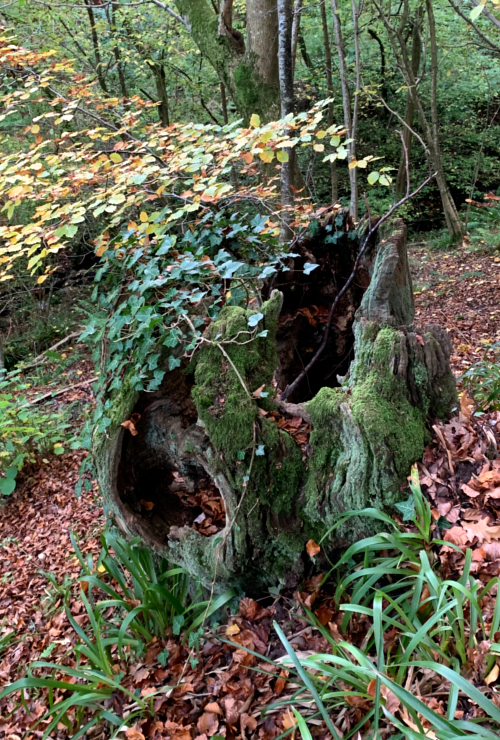 Tree stump at Allen Banks