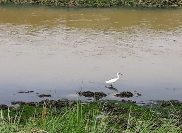 Egret on the Downs Link trail