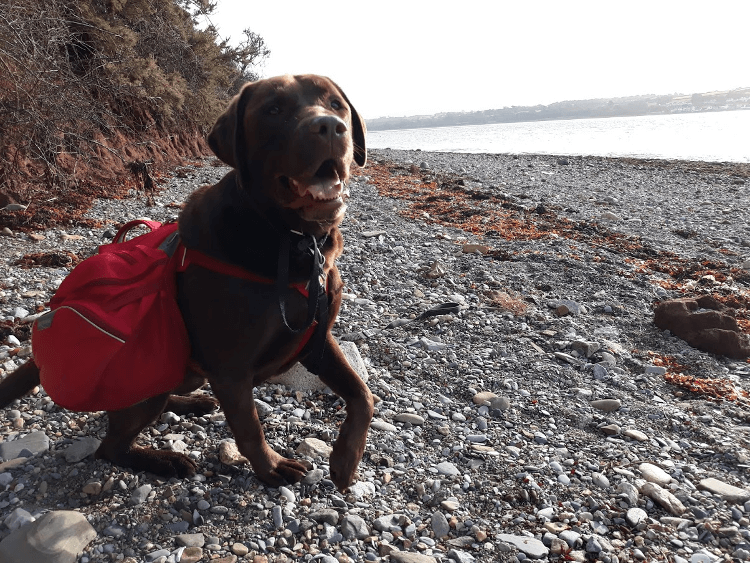 Gino the brown labrador sits on a pebbly beach trail on the Isle of Anglesey