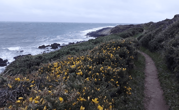 Gorse lines this sandy path along the rocky coast