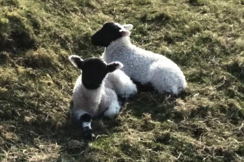 Hadrian's Wall Path in Spring: Lambs