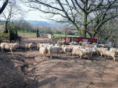 Usk Valley Walk: Penned Sheep