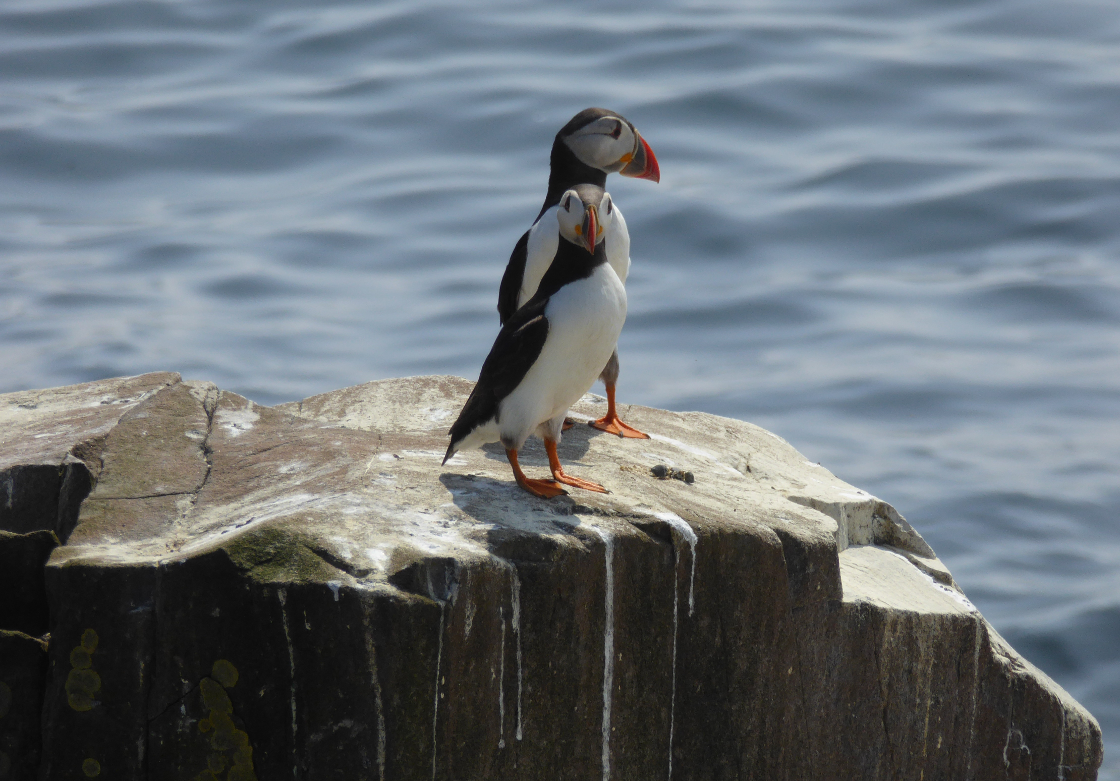 Photo competition fun times runner up: Puffins on Farne Islands by Petra Cullmann