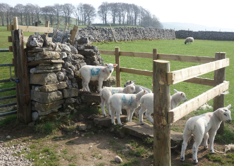Three Dales Way: Sheep Stile