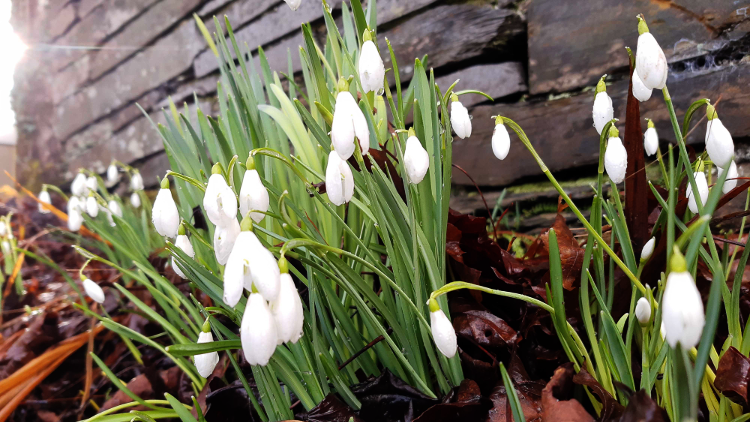 snowdrops-by-slate.png
