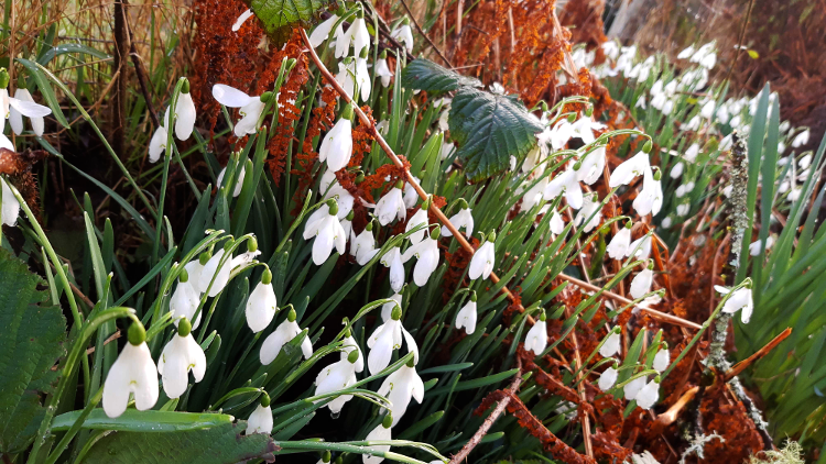 snowdrops-emerging.png