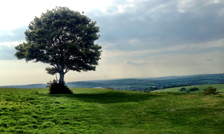 south-downs-way-tree.png